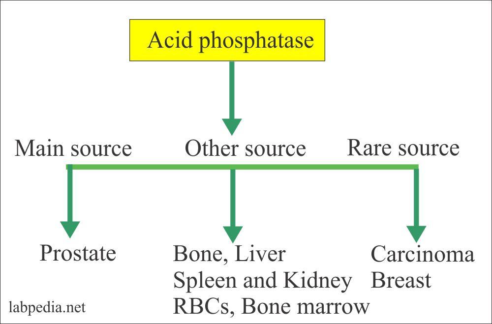 Source of Alkaline phosphatase