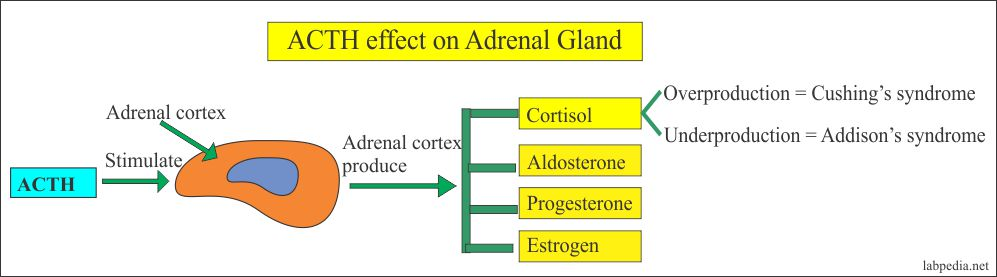 ACTH effect on the adrenal gland