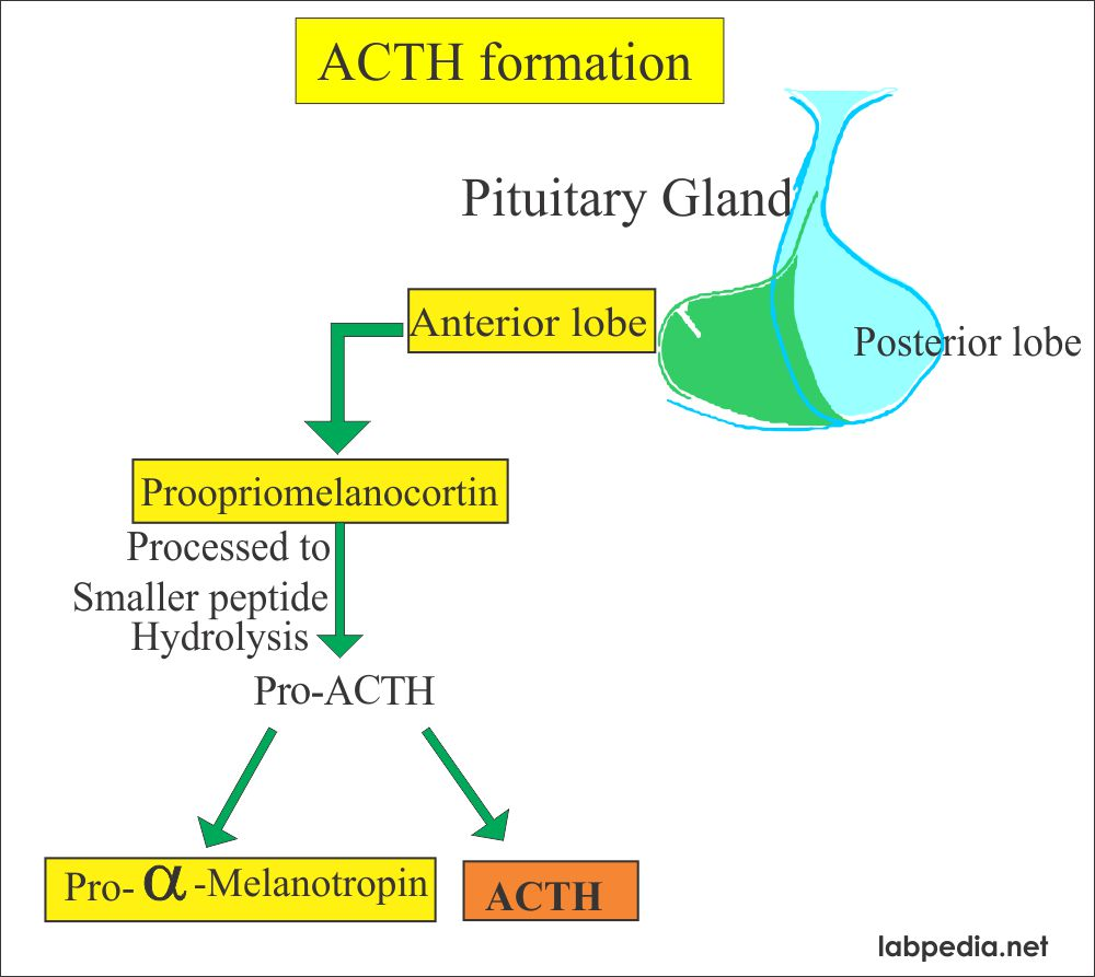 ACTH formation from the pituitary gland