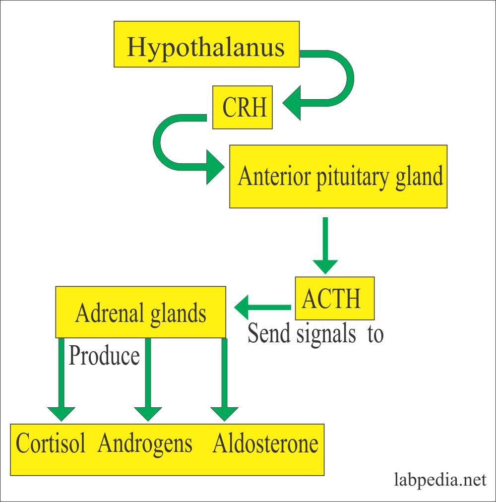 Hypothalamus role on the adrenal glands