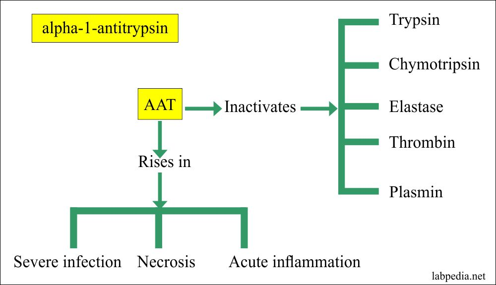 alpha-1-antitrypsin functions