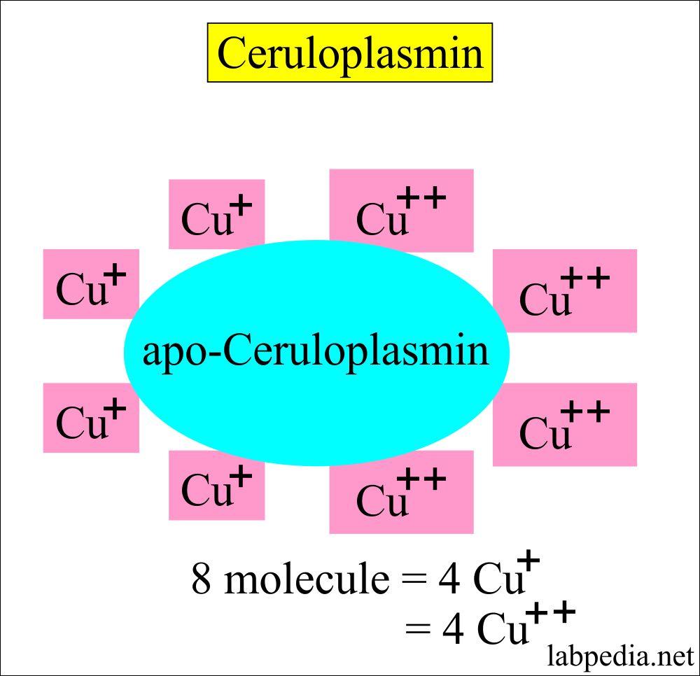 ceruloplasmin structure
