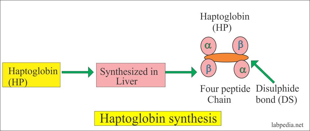 Synthesis of haptoglobin