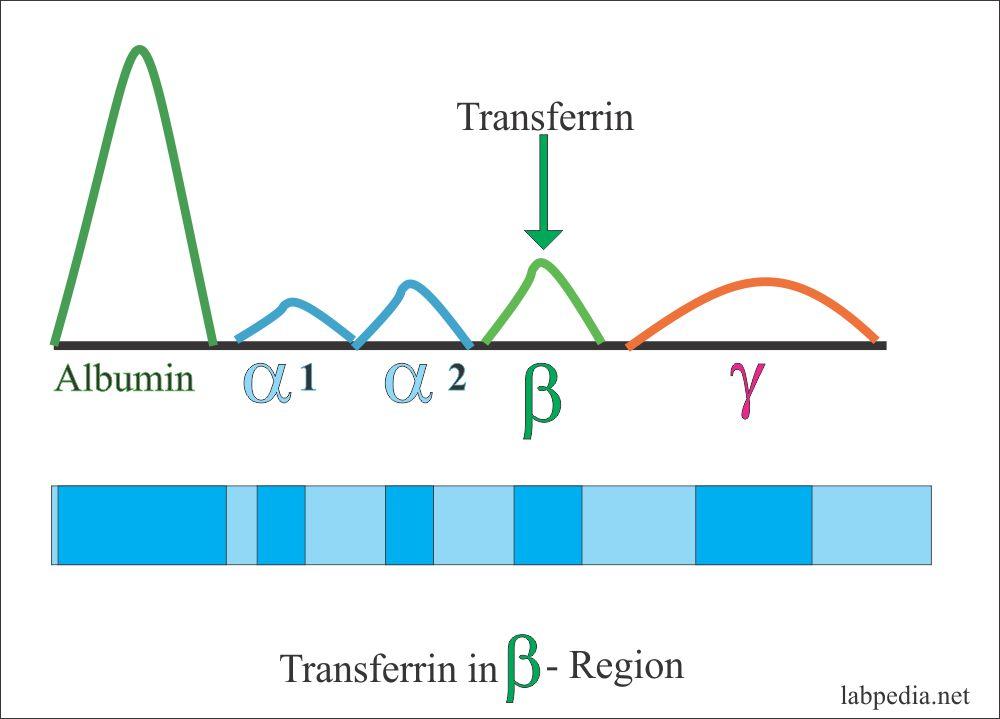 Transferrin location in electrophoresis