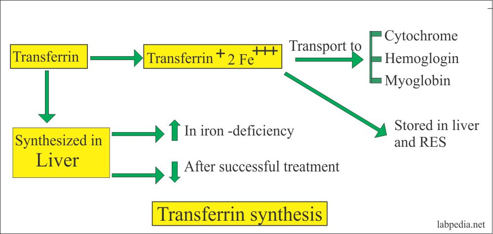Transferrin synthesis
