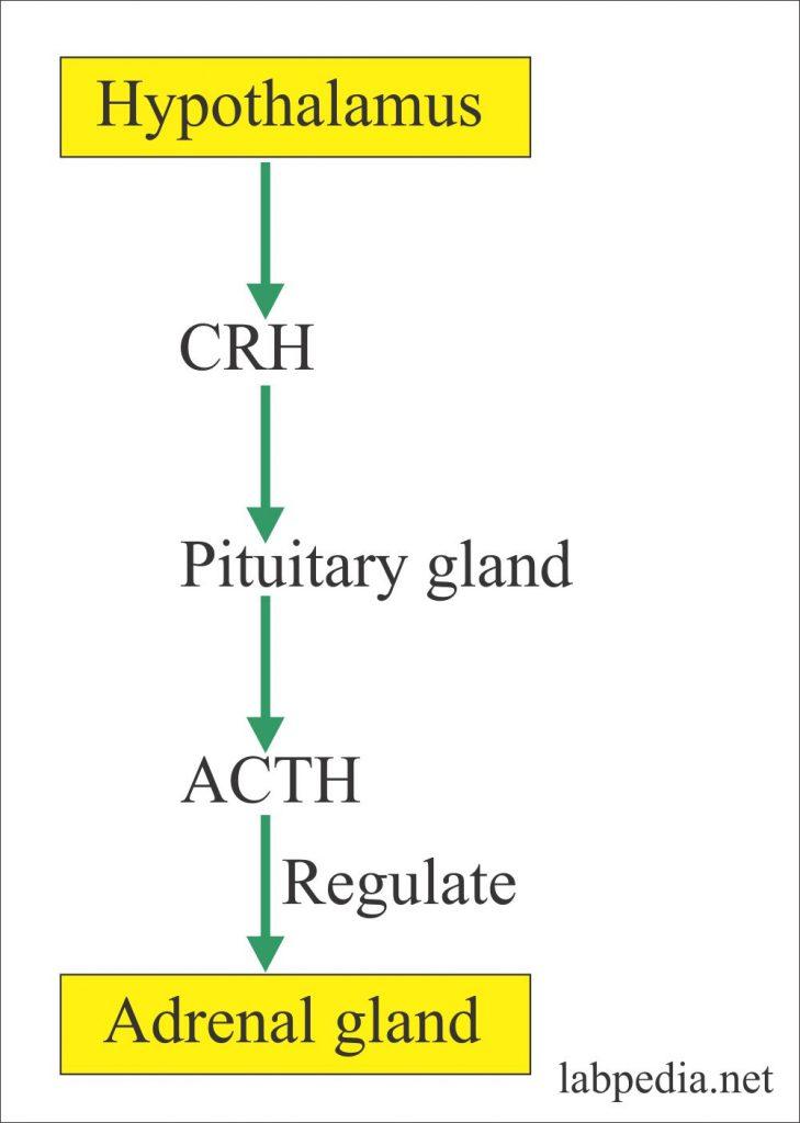 Hypothalamus hormones regulate adrenal gland