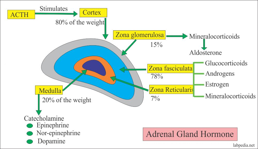 Adrenal gland hormones and their source