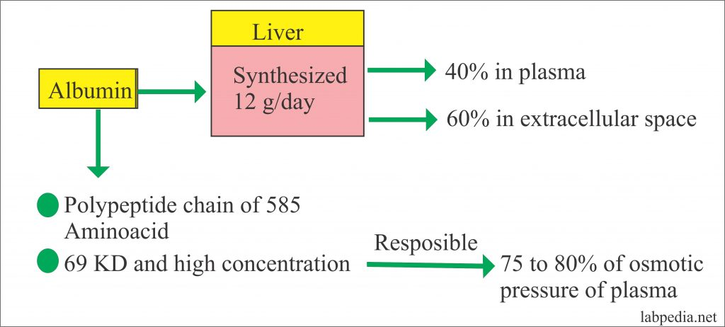 Albumin synthesis and structure