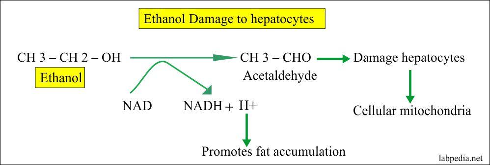Ethanol damage to hepatocytes