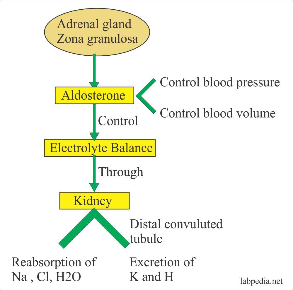 Aldosterone gland functions