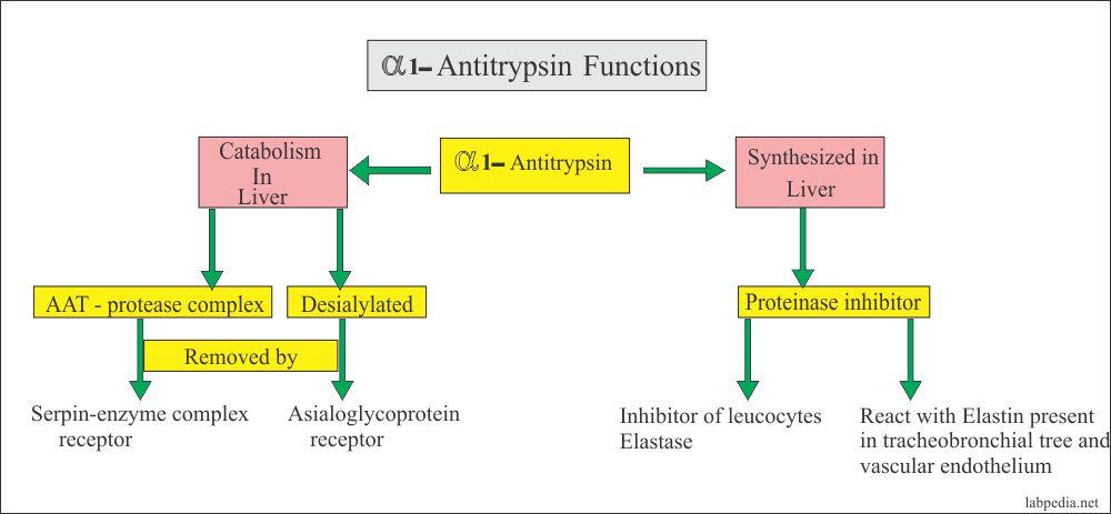 alpha-1-trypsin functions