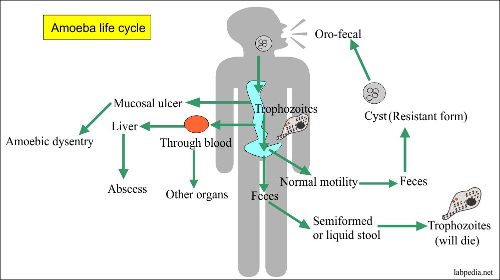 E. histolytica life cycle in humans
