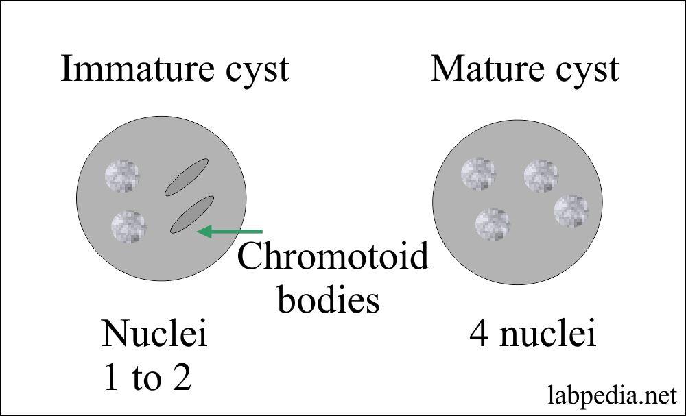 Amoeba cyst mature and immature