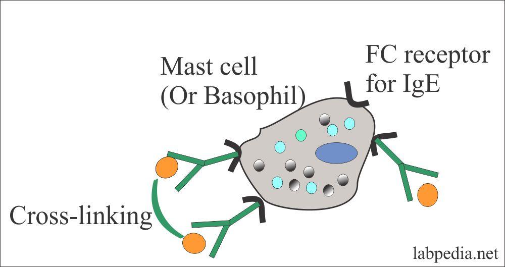 Mast cell receptor