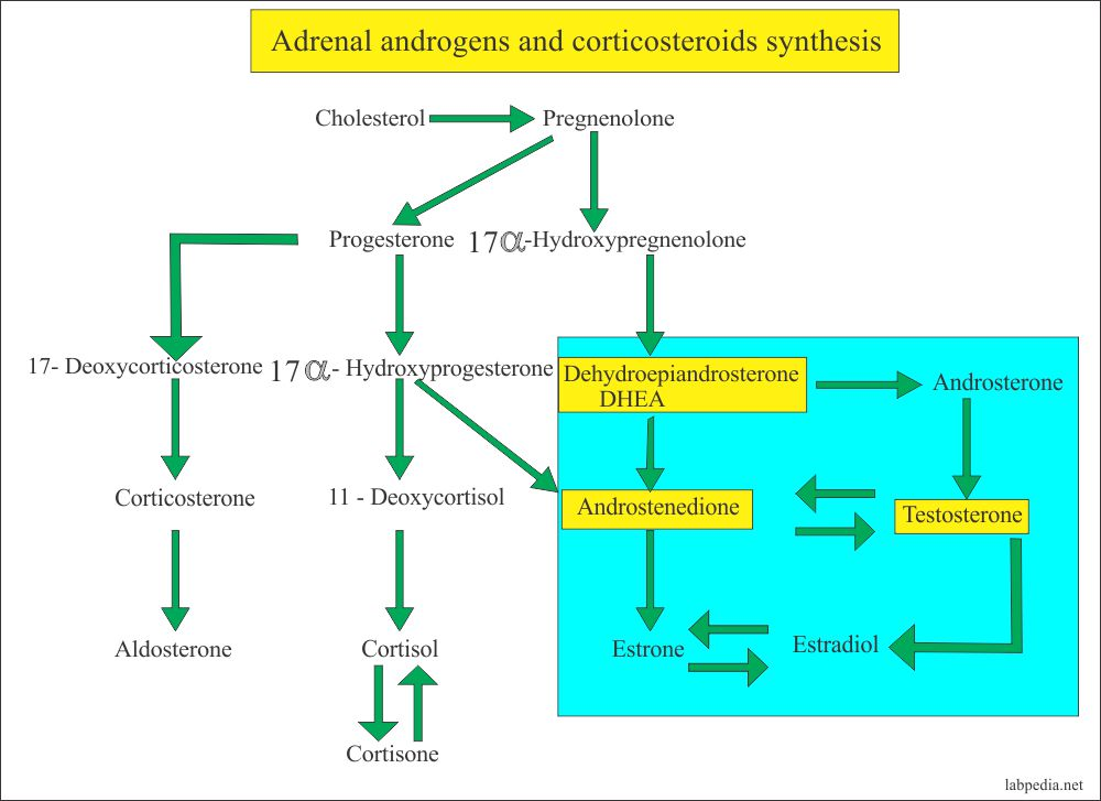 Adrenal gland androgens and corticosteroids