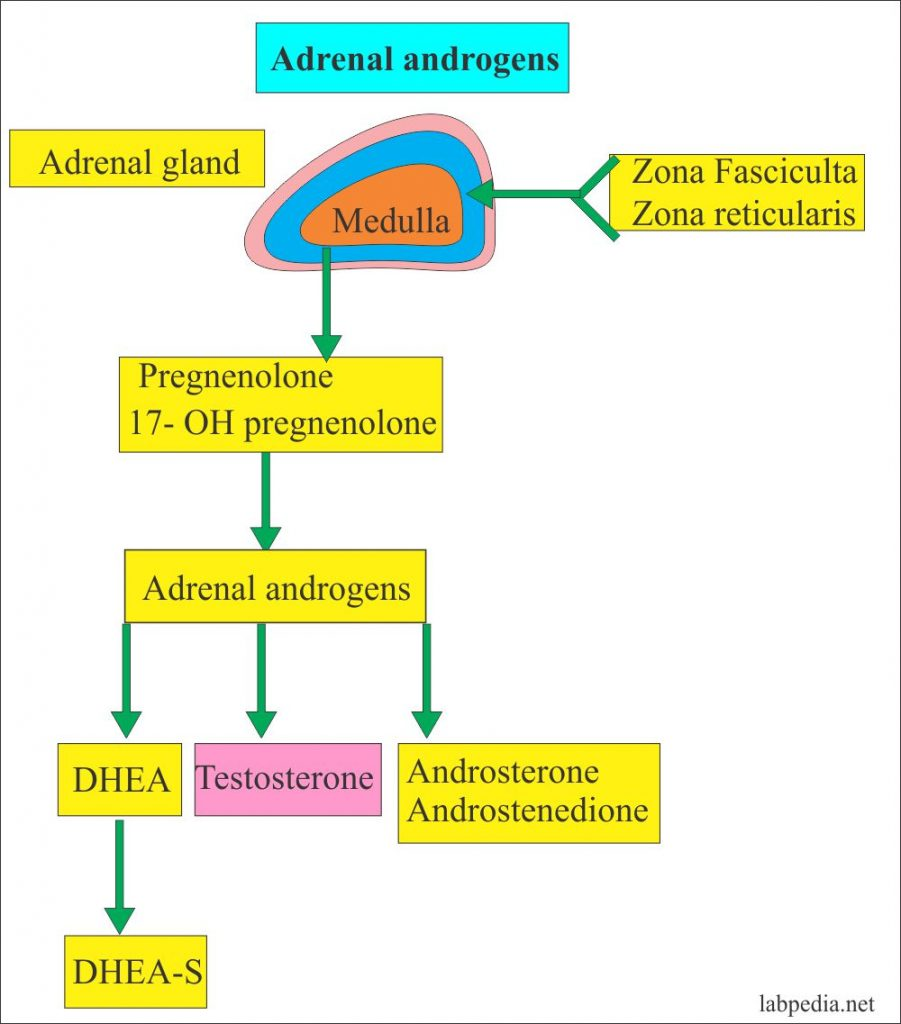 Adrenal gland hormones