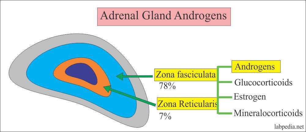 Adrenal gland androgens