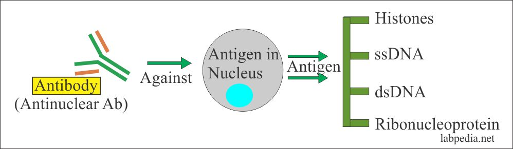 Anti-nuclear antibody (ANA)