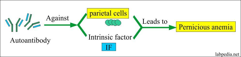 Intrinsic factor and antibody