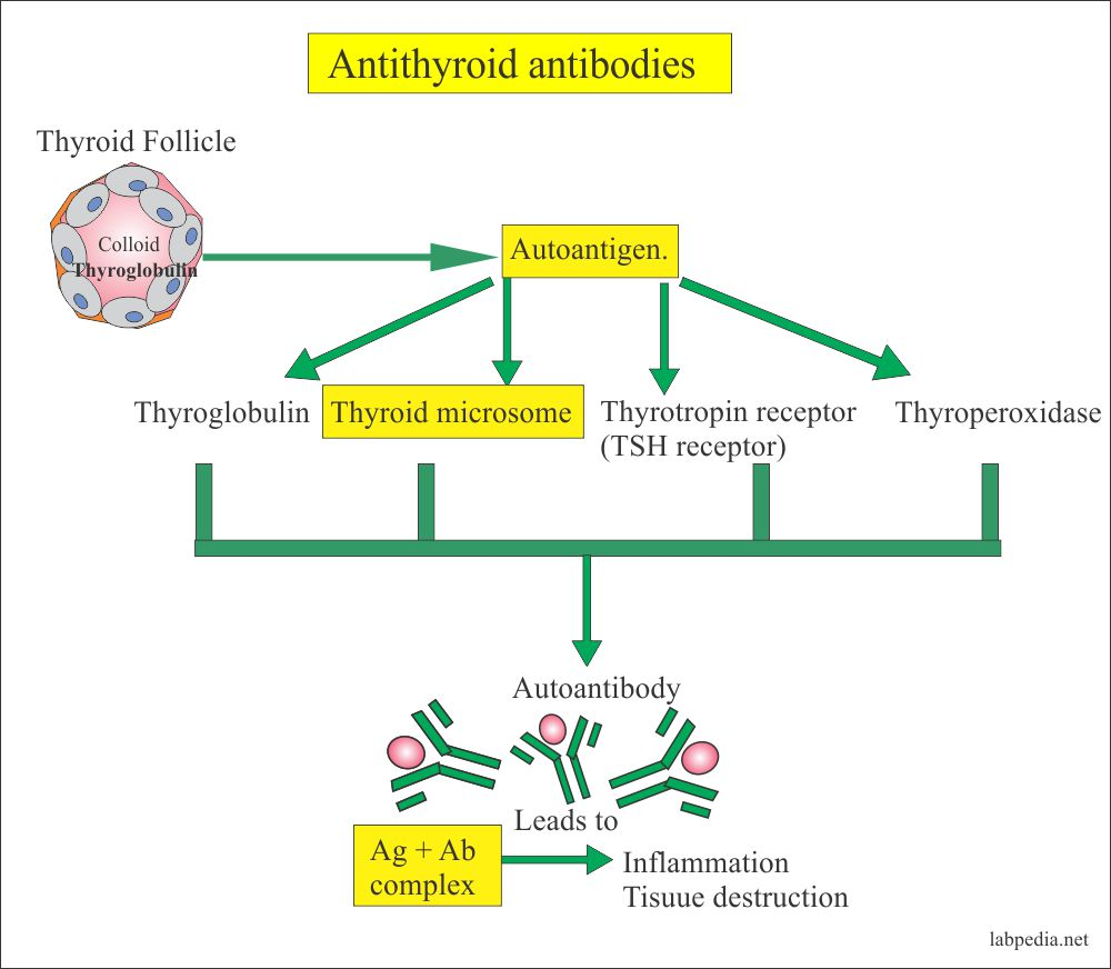 Anti-thyroid antibodies