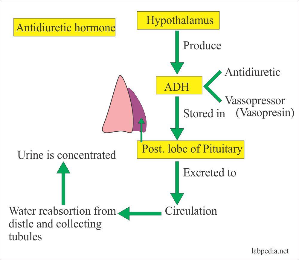 Antidiuretic hormone function