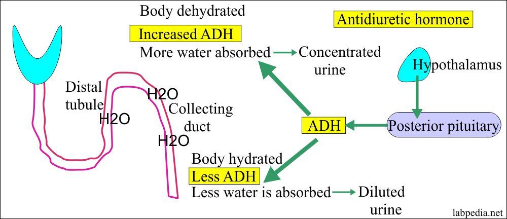 Antidiuretic Hormone (ADH, Vasopressin, Arginine Vasopressin Hormone)