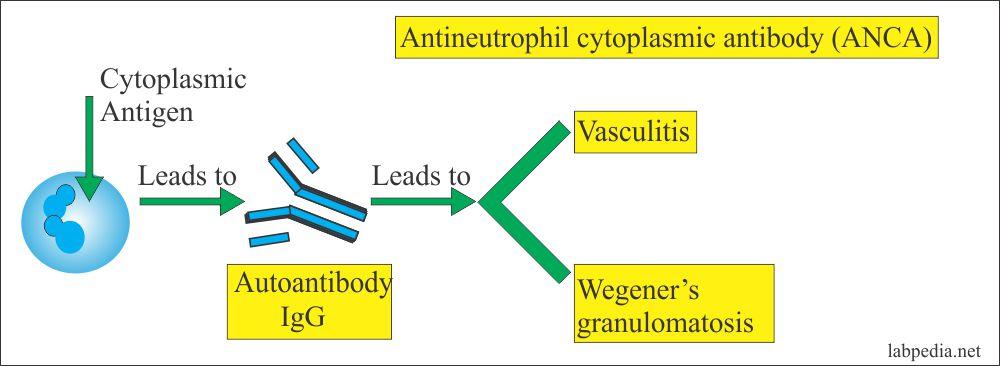 Antineutrophil cytoplasmic antibody formation