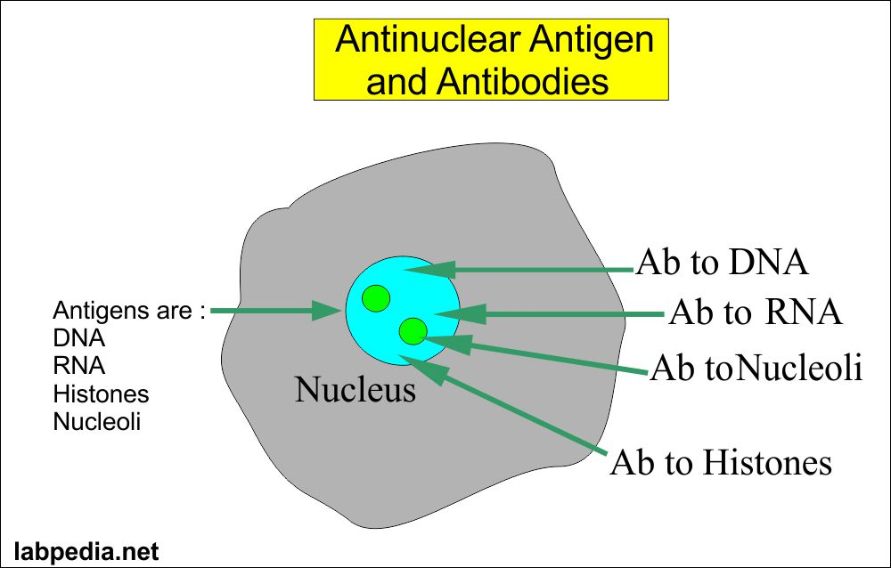 antinuclear antigen and antibody