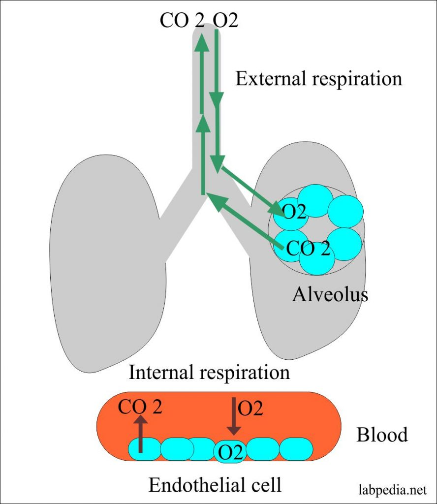 Lung role in acid-base balance