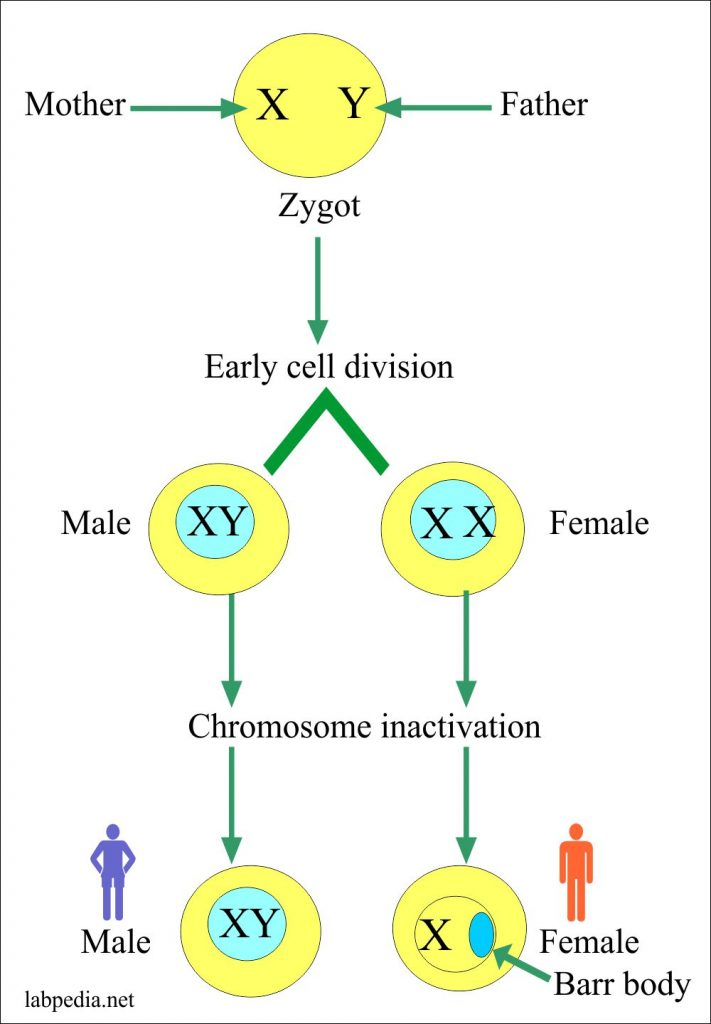 Chromosomes inactivation leads to female