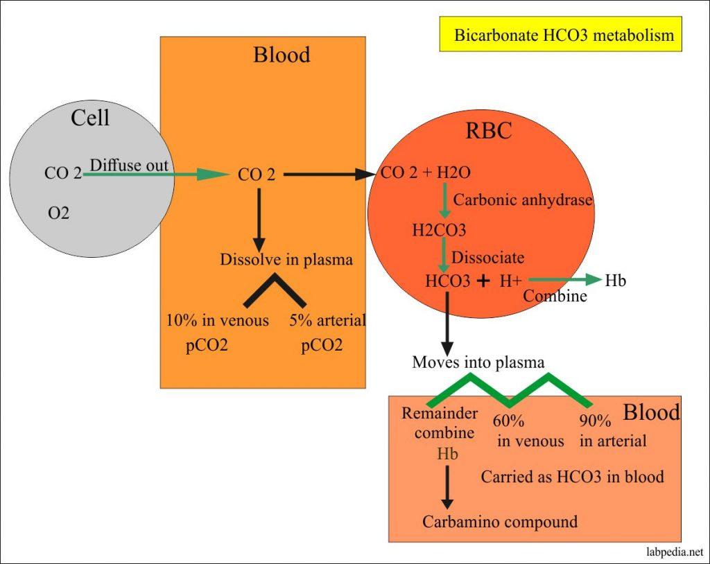 Bicarbonate metabolism