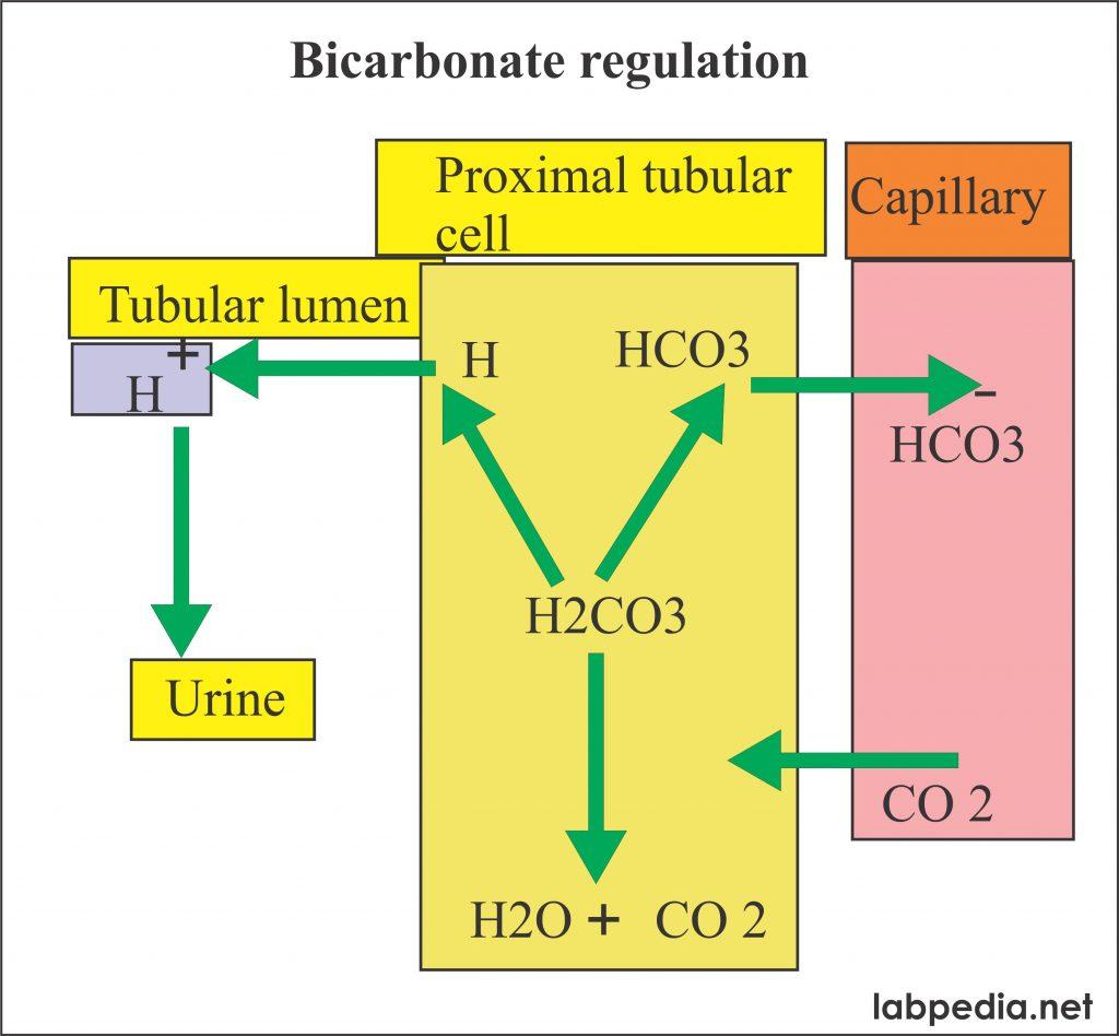 bicarbonate regulation system