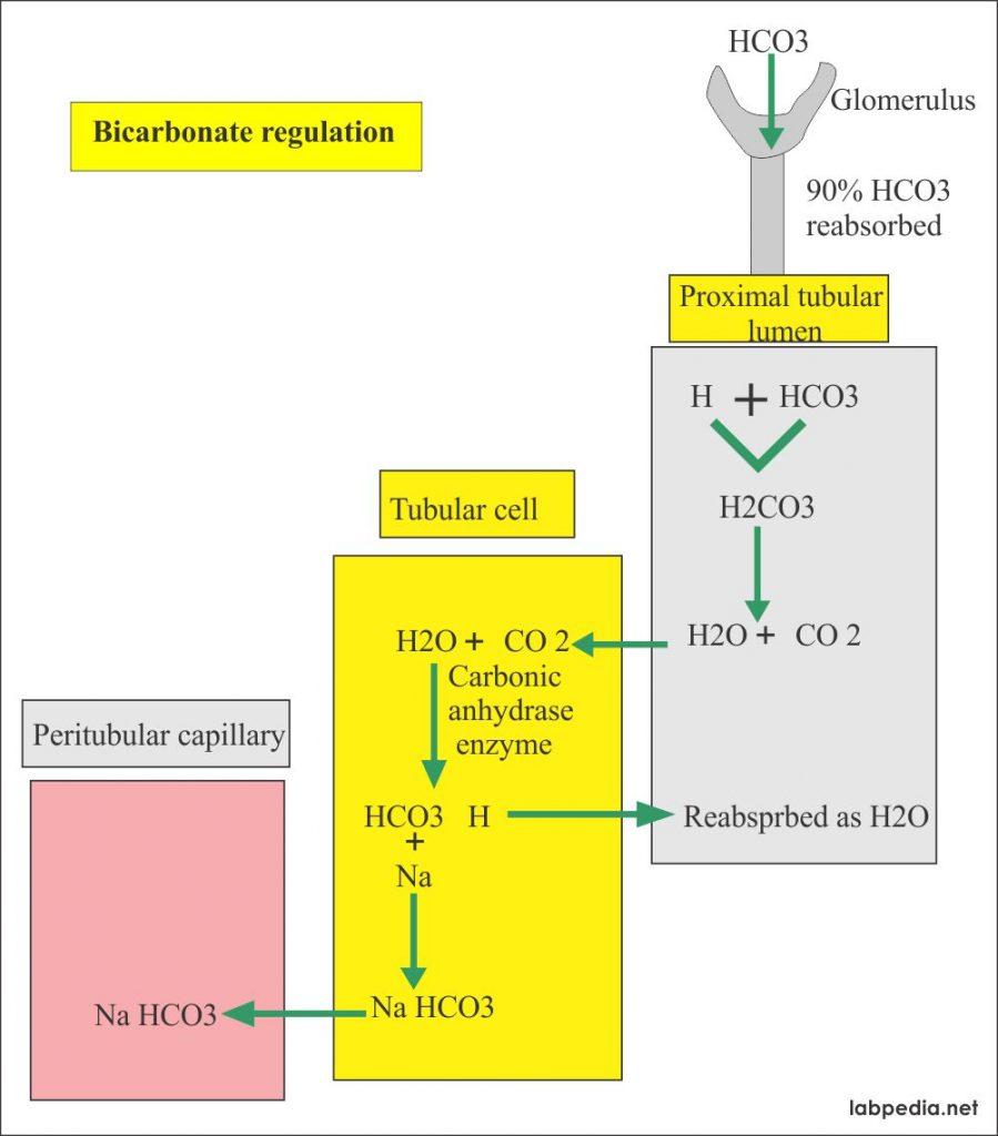 Bicarbonate regulation mechanism