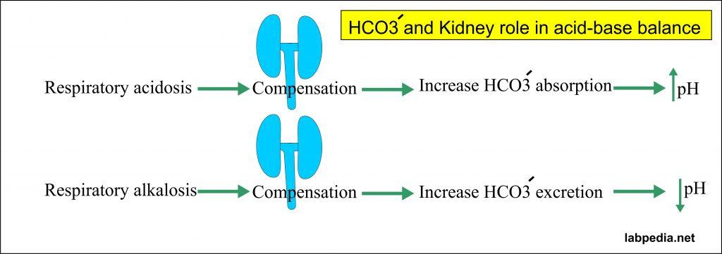 Bicarbonate and kidneys role in acid-base balance