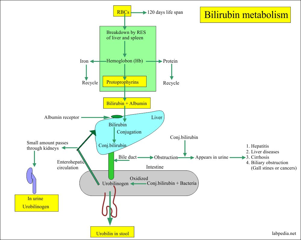 Bilirubin Metabolism and cuases for its formation