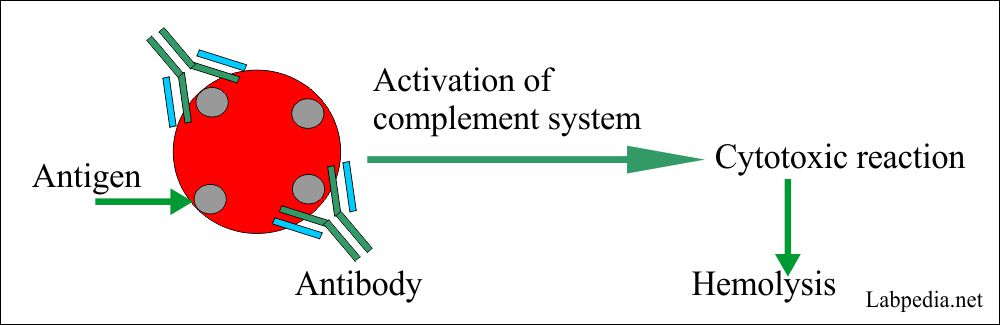 Hemolysis of RBC by complement activation