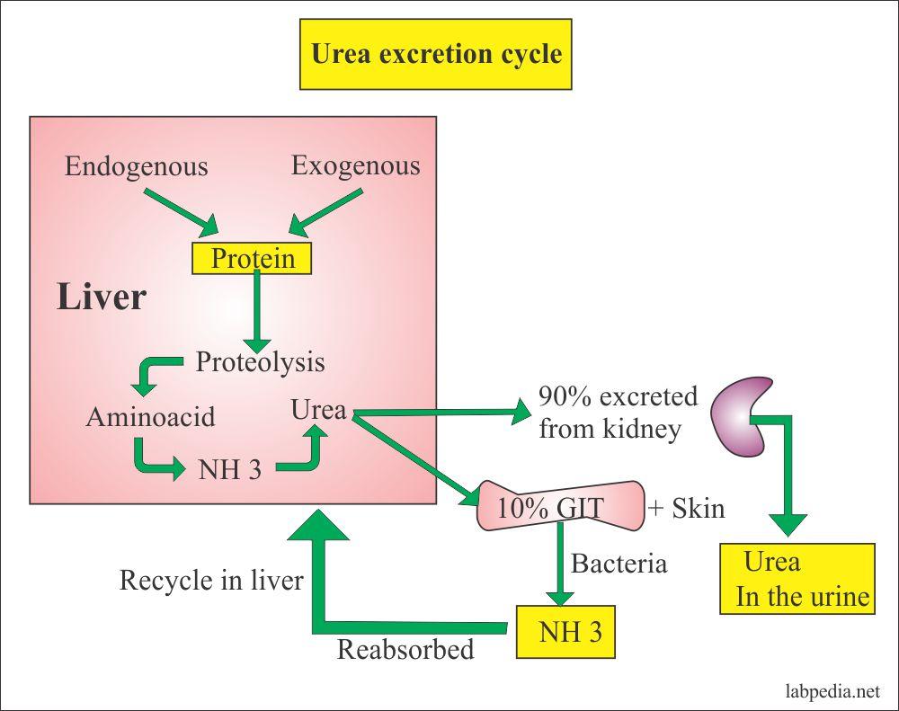 Urea excretion cycle