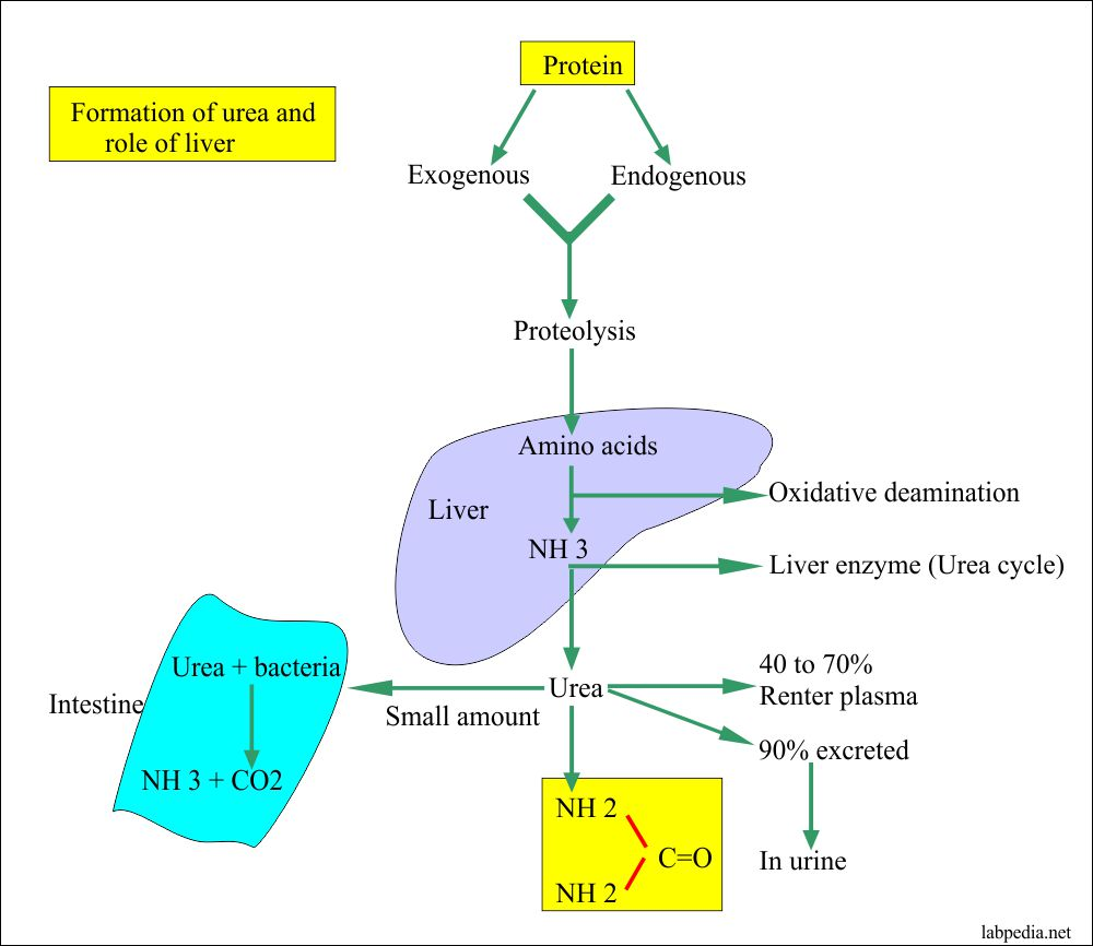 Urea formation and the role of liver