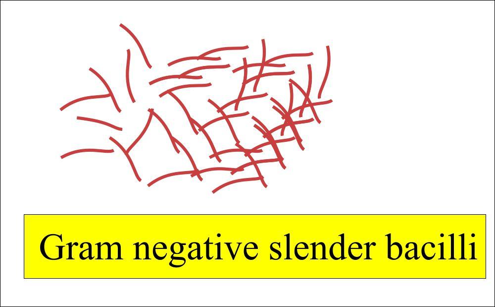 Gram negative slender bacilli