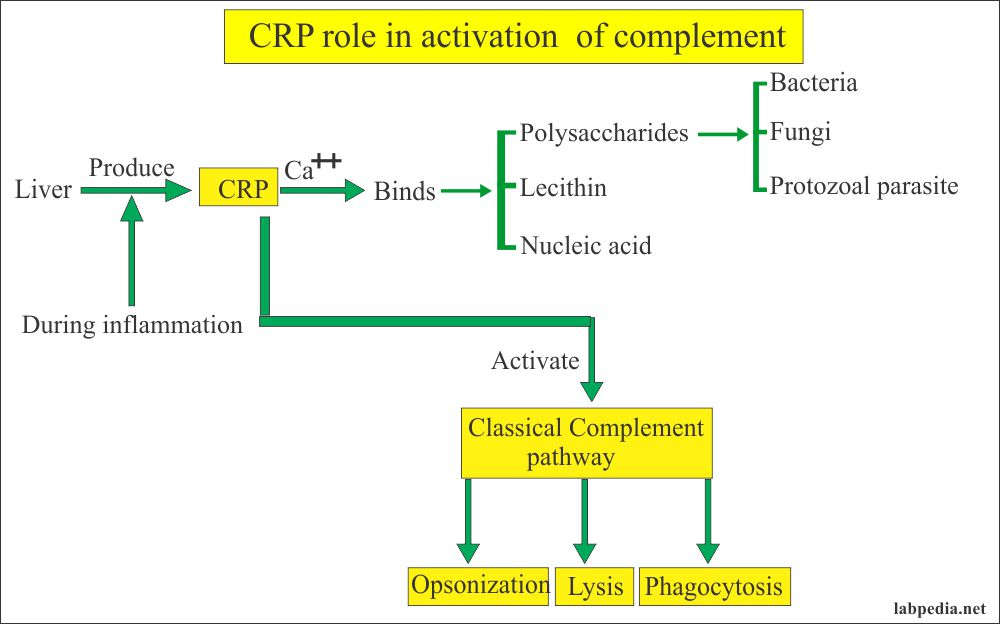 CRP role in activation of complement