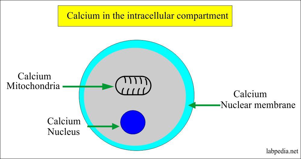 Calcium in the intracellular compartment