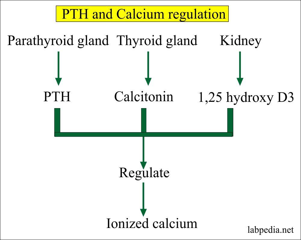 PTH role in the regulation of calcium