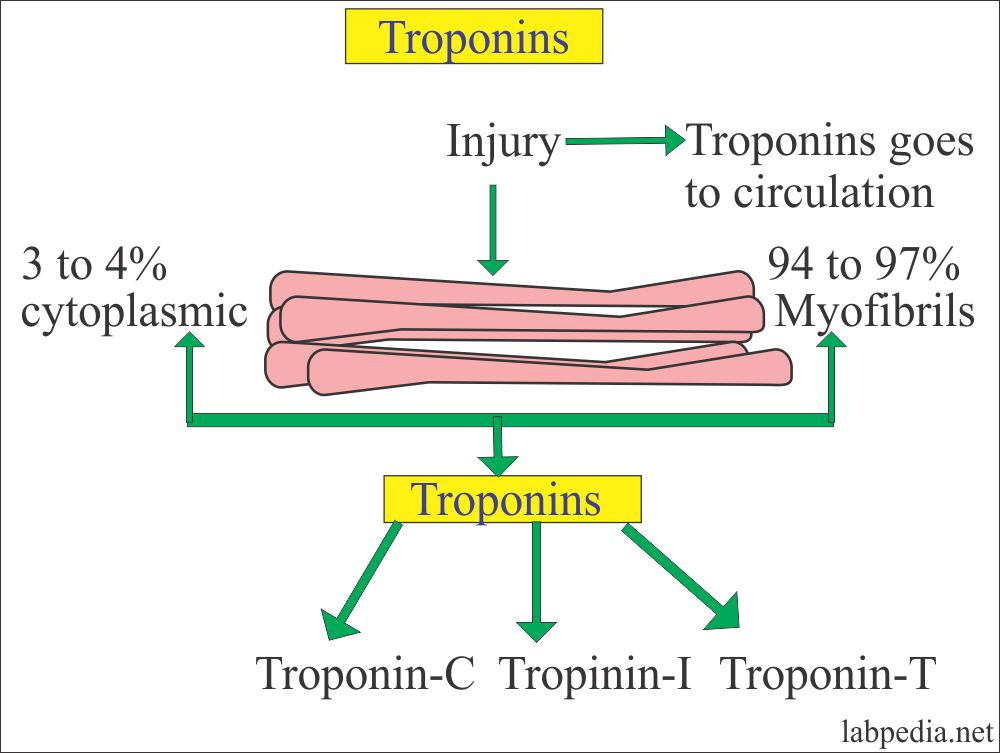 Troponins source