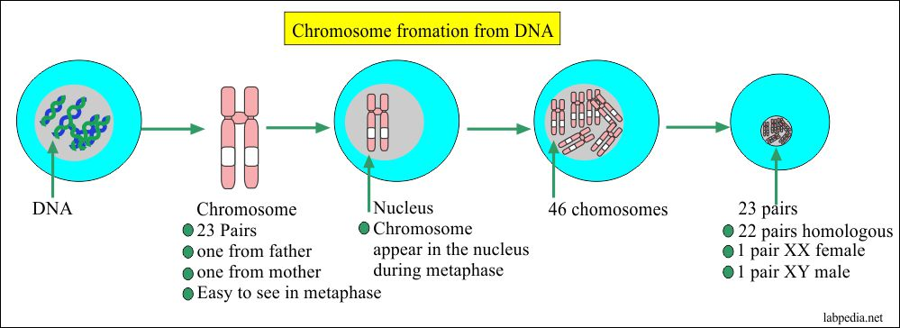 Chromosome formation from the DNA