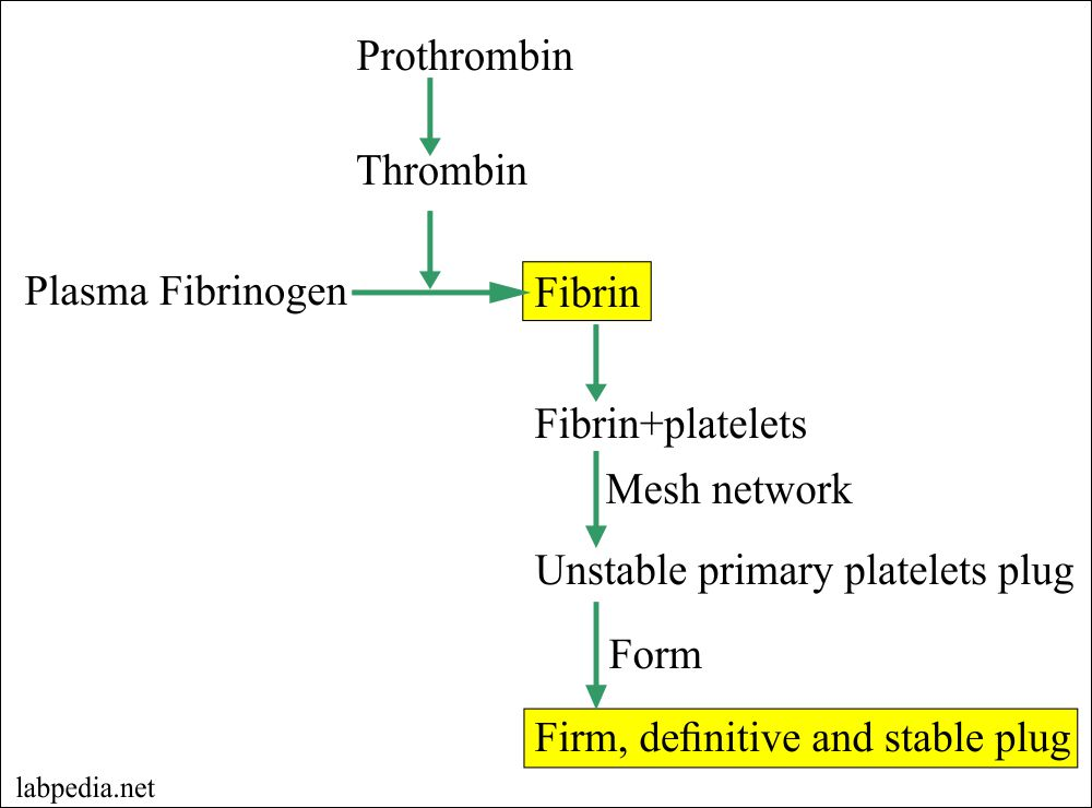 Prothrombin and stable plug formation