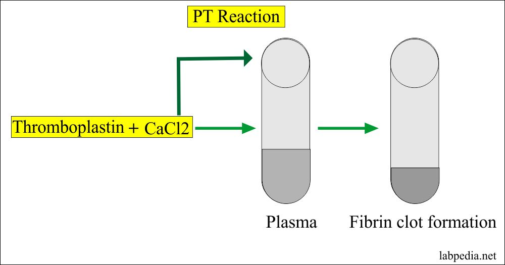Prothrombin time reaction