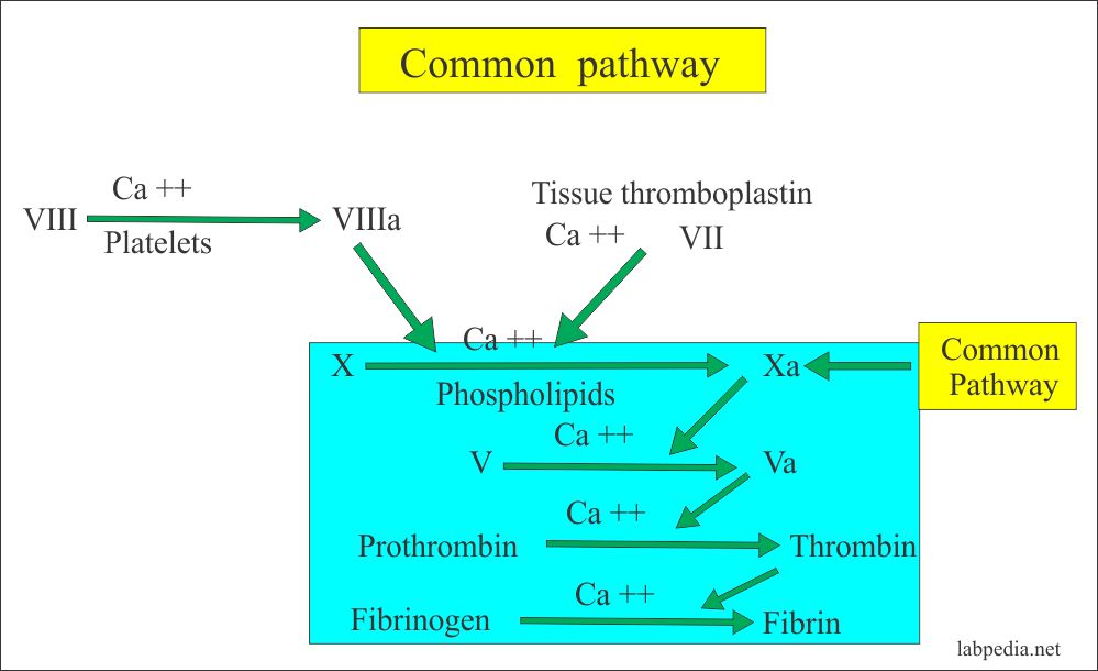 Coagulation common pathway