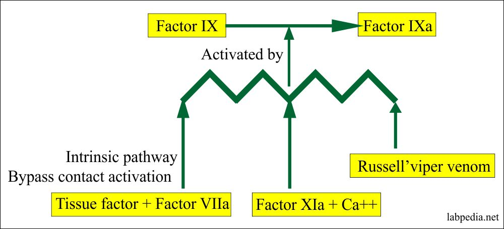 Russell's viper venom role in coagulation