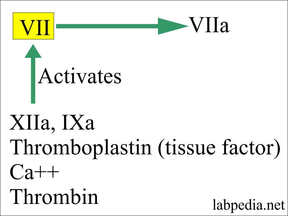 Factor VII activation factors