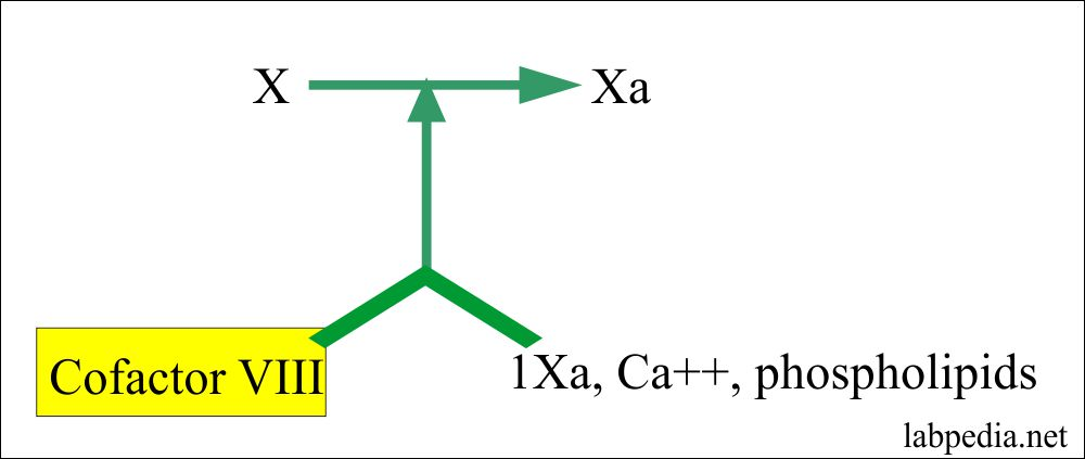 Cofactor VIII and its role in coagulation
